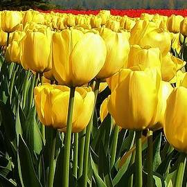 Tip Toe through the Tulips by Bruce Bley
