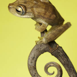 tree frog on twig in background copyspace by Dirk Ercken