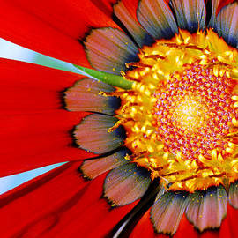 Zinnia In Red by Wendy Wilton