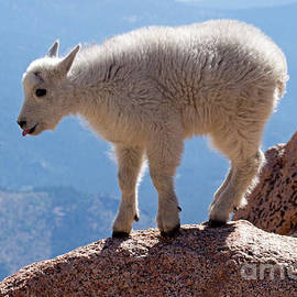 Mountain Goat Kid On Mount Evans by Fred Stearns