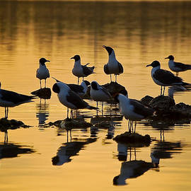 Laughing Seagull by Rashad Penn
