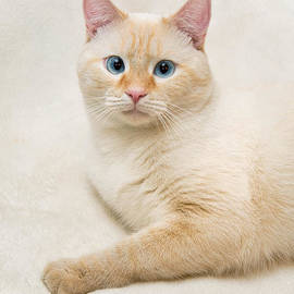Amy Cicconi - Flame Point Siamese Cat