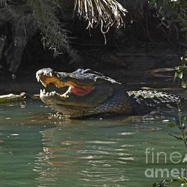 American alligator  by Howard Stapleton