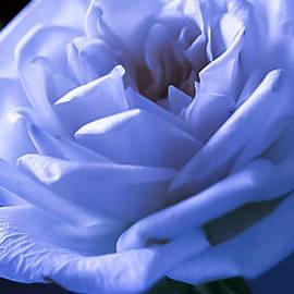 Sheree Lauth - Eternal Rose