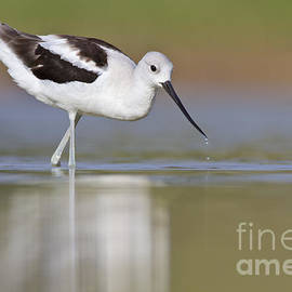 White American Avocet by Bryan Keil