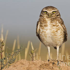 Bryan Keil - Burrowing owl