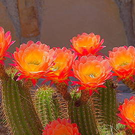 Cactus in Bloom by Bob Marquis