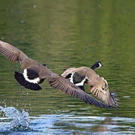 Roy Williams - Canada Goose Pair In Flight