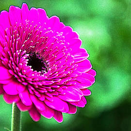 Colin Hunt - 10188 Purple Gerbera