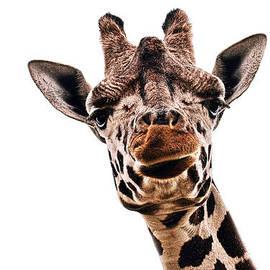 Marcia Colelli - Giraffe