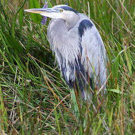 Christiane Schulze Art And Photography - Great Blue Heron In The Everglades