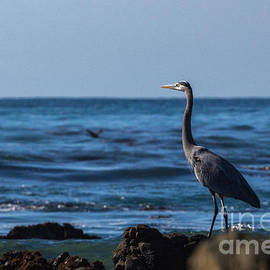 Great Blue Heron by Terry Cotton
