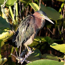 Green Backed Heron by Christiane Schulze Art And Photography