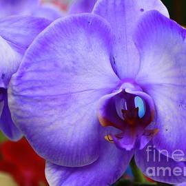 Dora Sofia Caputo Photographic Design and Fine Art - Lavender Mist Orchid