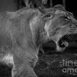 David Rucker - Lioness