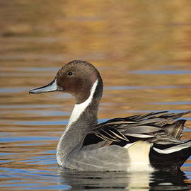 Male Pintail Duck by Ruth Jolly