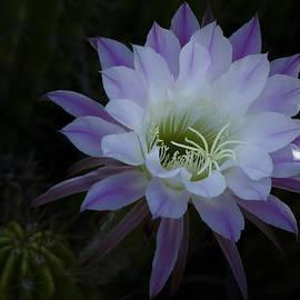 Night Blooming Cactus  by Saija  Lehtonen