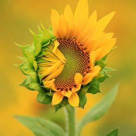 Carolyn Derstine - Opening sunflower