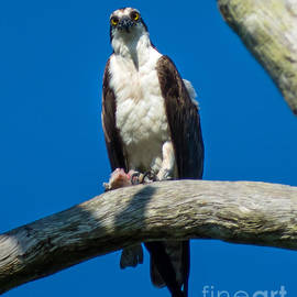 Osprey with Fish by Stephen Whalen