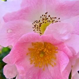 Stephanie Moore - Pink roses