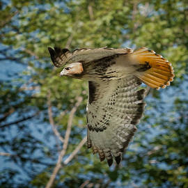 Red Tail Hawk by Bill Wakeley