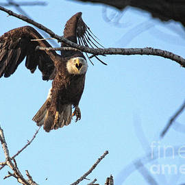 Screaming Eagle by Bob Hislop