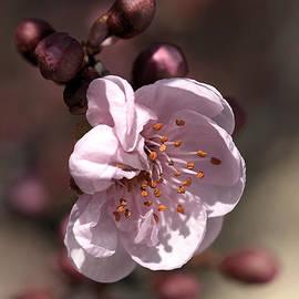 Spring Blossom by Joy Watson