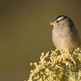 Bryan Keil - White crowned sparrow