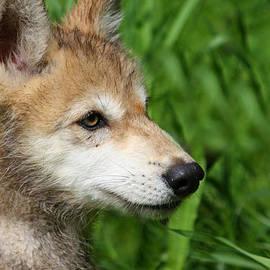 Amanda Stadther - Gray Wolf Pup