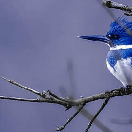 Brian Stevens - Belted Kingfisher