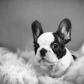 Waldek Dabrowski - French Bulldog puppy