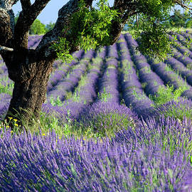 Lavender Field - Lone Tree - Provence - France by Brian Jannsen
