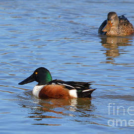 Male and Female Northern Shoveler Ducks  by Ruth  Housley