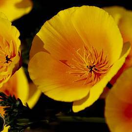 Poppy Flowers by Ivete Basso Photography