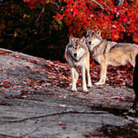 Les Palenik - Timber wolves under a red maple tree - Pano