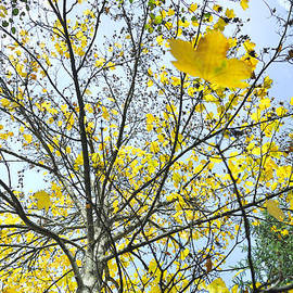 Guido Montanes Castillo - Yellow leaves