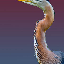 Brian Stevens - Great Blue Heron