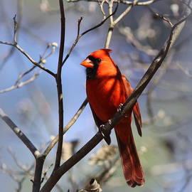 Travis Truelove - 3477-006- Northern Cardinal