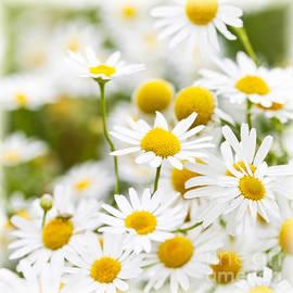 Elena Elisseeva - Chamomile flowers