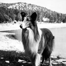 Lassie by Retro Images Archive