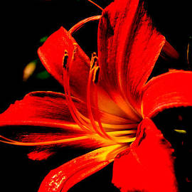 Lily by Lali Kacharava