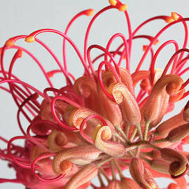 Grevillea flower by Shirley Mitchell