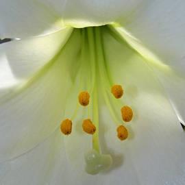 Lily Flower by Karen Adams