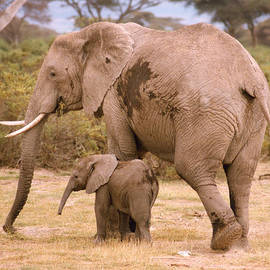 6321 Elephant Mother And Baby by Chris Maher