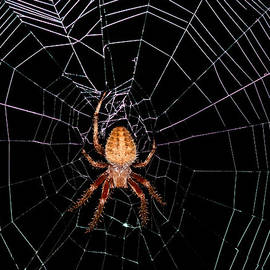 Lara Ellis - 7 Legged Spotted Orb Weaver