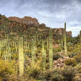A Forest of Saguaros  by Saija  Lehtonen