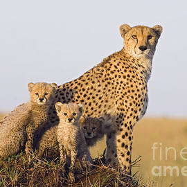 A Future For Cheetahs by Suzi Eszterhas