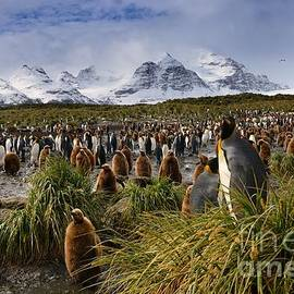 King Penguins with Snowy Mountain Backdrop on South Georgia Island by Tom Schwabel