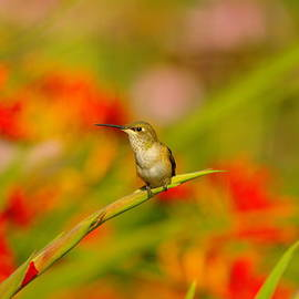 Jeff Swan - A Humming Bird Perched