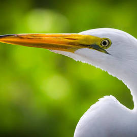 Andres Leon - A Lighter version of a Snowy Egret